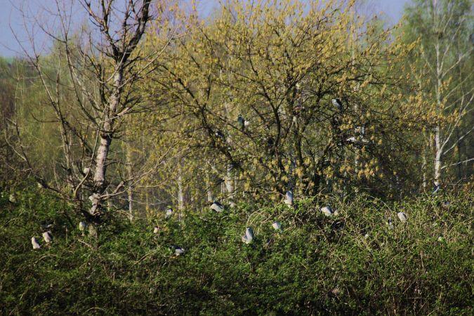 Black-crowned Night Heron  - Krzysztof Czajowski