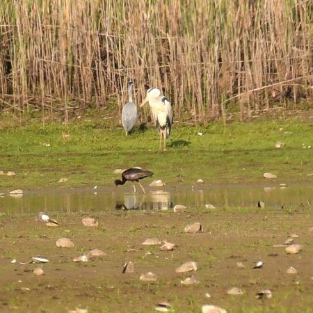 ibis kasztanowaty  - Jacek Betleja