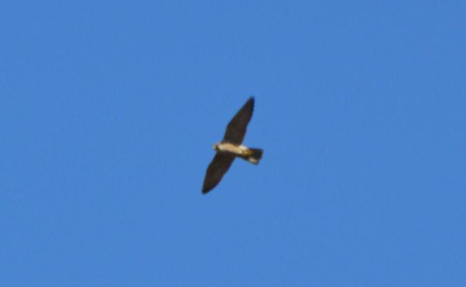 Peregrine Falcon  - Dawid Sikora
