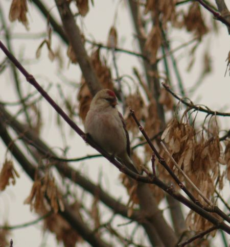 Unidentified Redpoll