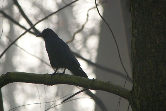 Carrion or Hooded Crow  - Wojciech Miczajka