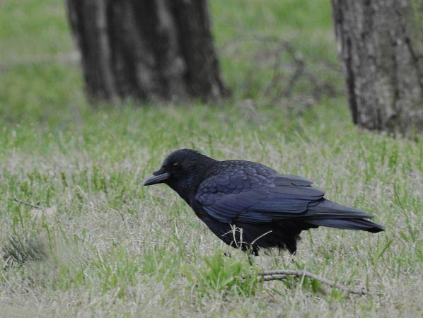 Carrion or Hooded Crow  - Artur Błąd
