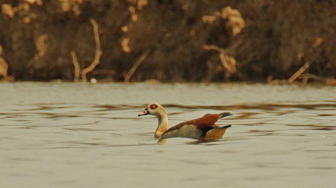 Egyptian Goose  - Bogdan Podmokły
