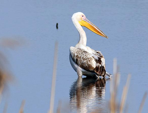 pelikan różowy  - Marcin Nowacki