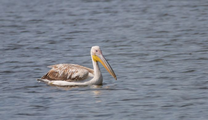 Great White Pelican  - Hubert Janiszewski