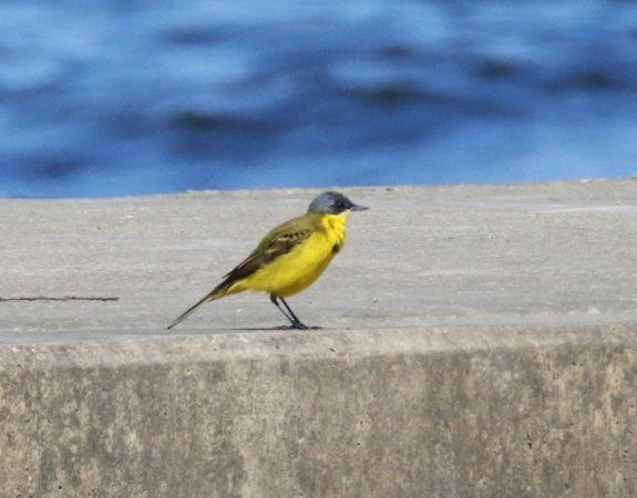 Western Yellow Wagtail (M.f.thunbergi)  - Henryk Guziak