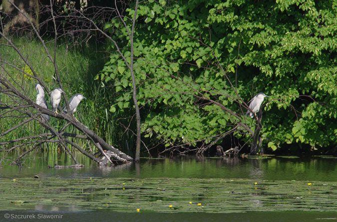 Black-crowned Night Heron  - Sławomir Szczurek