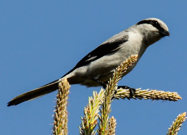 Great Grey Shrike (L.e.homeyeri)  - Łukasz Figiel
