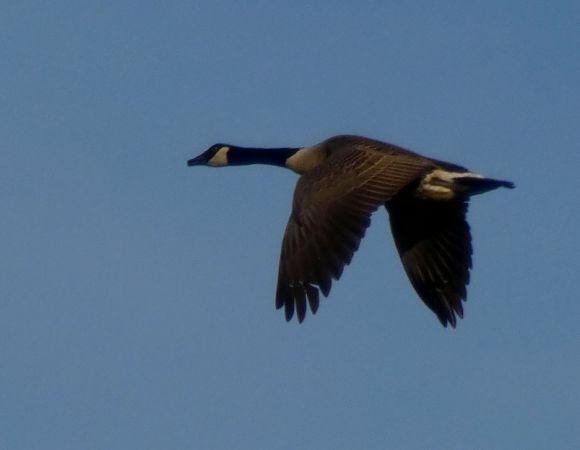 Canada Goose  - Grzegorz Grygoruk