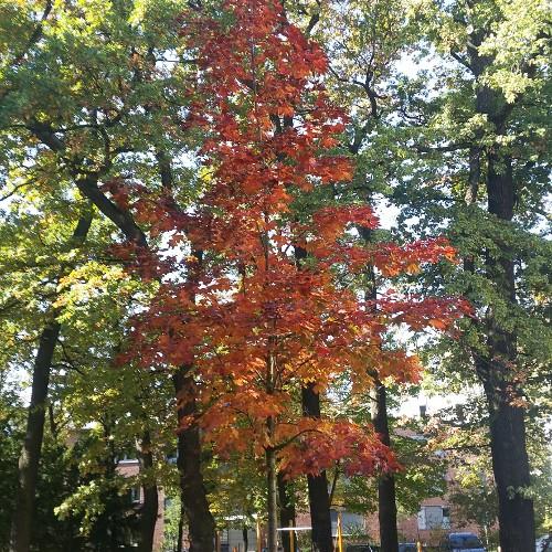 Spitzahorn (rotlaubig)