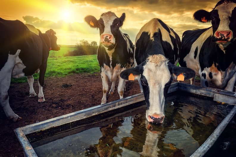 cows drinking water - meat production is an inefficient use of water