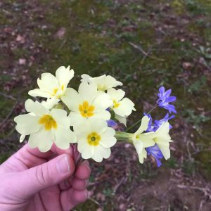 Some primroses