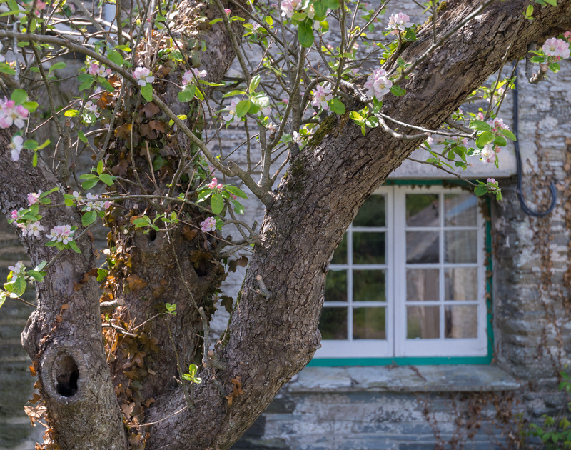 Apple blossom in the garden of Porthilly Greys, a lovely holiday house to rent in Rock