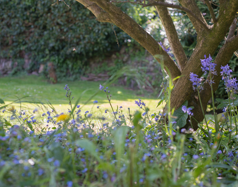 A pretty carpet of bluebells in the garden of Porthilly Greys, a holiday cottage to rent in Rock