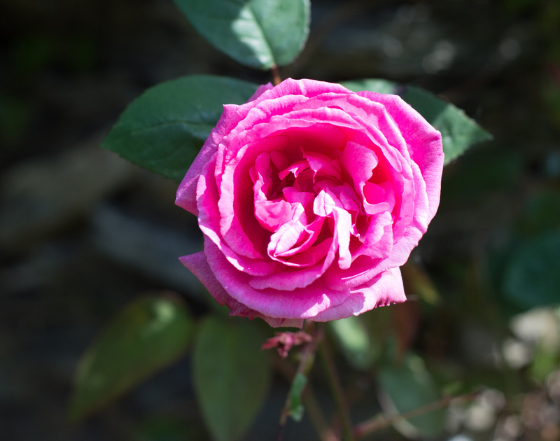 A beautiful pink rose in the garden of Porthilly Greys