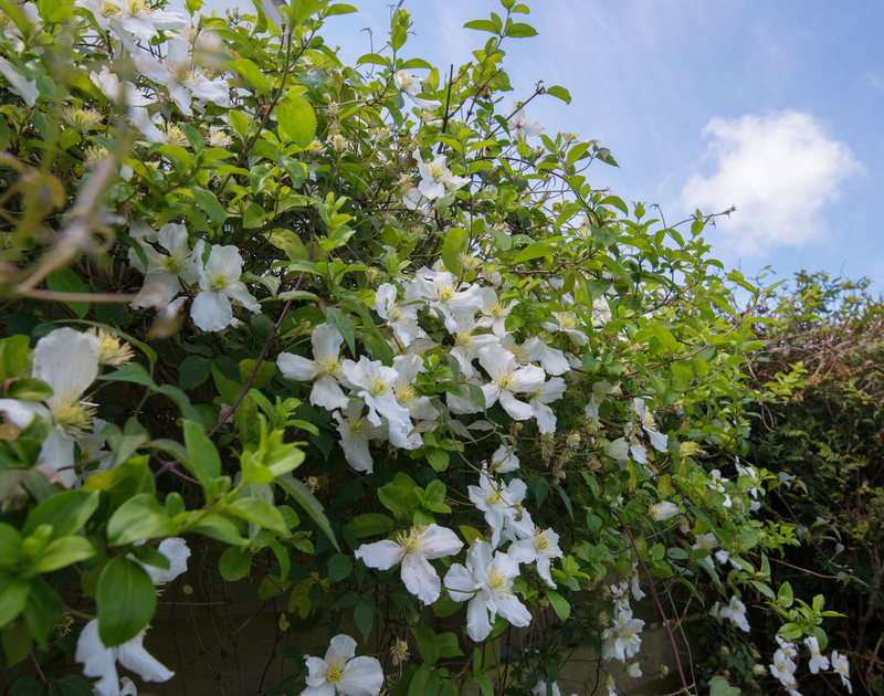 Flowering clematis growing in the garden of Hazelhurst, holiday accommodation near Rock, Cornwall