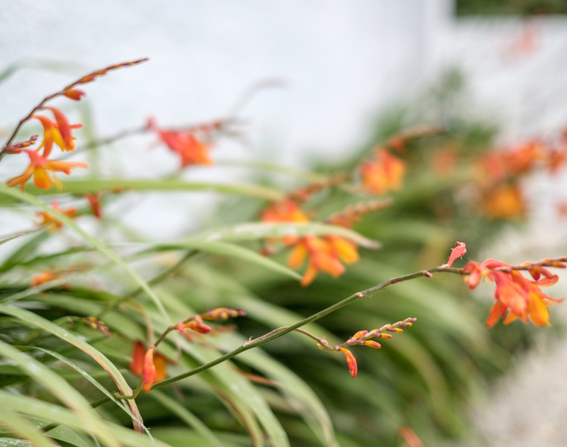 Montbretia plants  in the garden at chalet style holiday home Sea Reach in Polzeath.