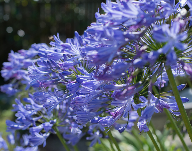 Treperran in Trebetherick is a welcoming family holiday home with beautiful blue Agapanthus which can be seen in full flower around the garden in the summertime.
