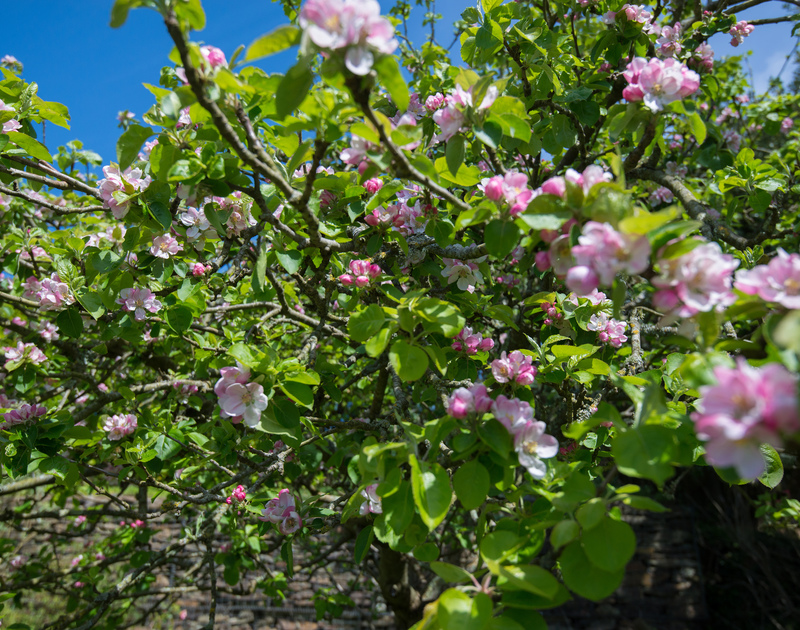 Beautiful apple blossom in late Spring on the trees at self catering, holiday house to rent Tringa in Daymer Bay, north Cornwall.