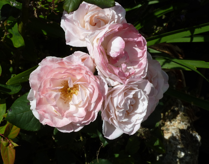 Blooming roses in the early summertime in the pretty mature garden at Fairholme, a self catering holiday house to rent in Port Isaac, North Cornwall.