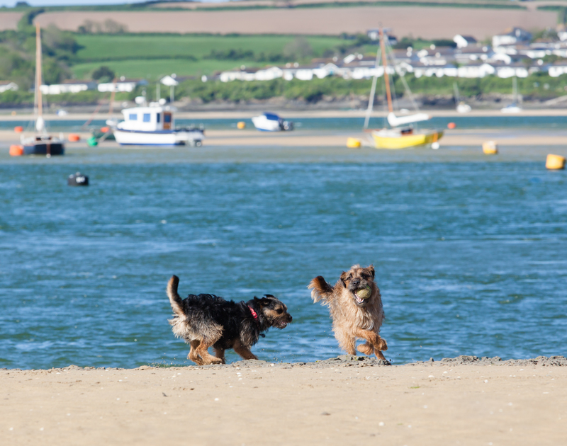 Dogs playing on Rock beach, a short way from Chimings self catering holiday home pet-friendly in Rock, North Cornwall.