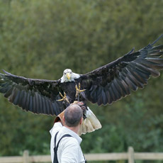 Bird of Prey Half Day Experience UK Wide