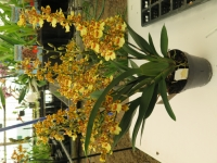 Colmanara Pacific Sunset Flowering size