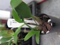 Dendrobium Hilda Poxon 'Measles