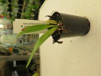 B. nodosa x C. Maxima /f. alba seedling
