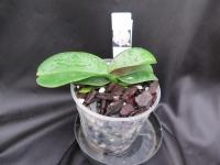 Phalaenopsis Skylar Love mericlone