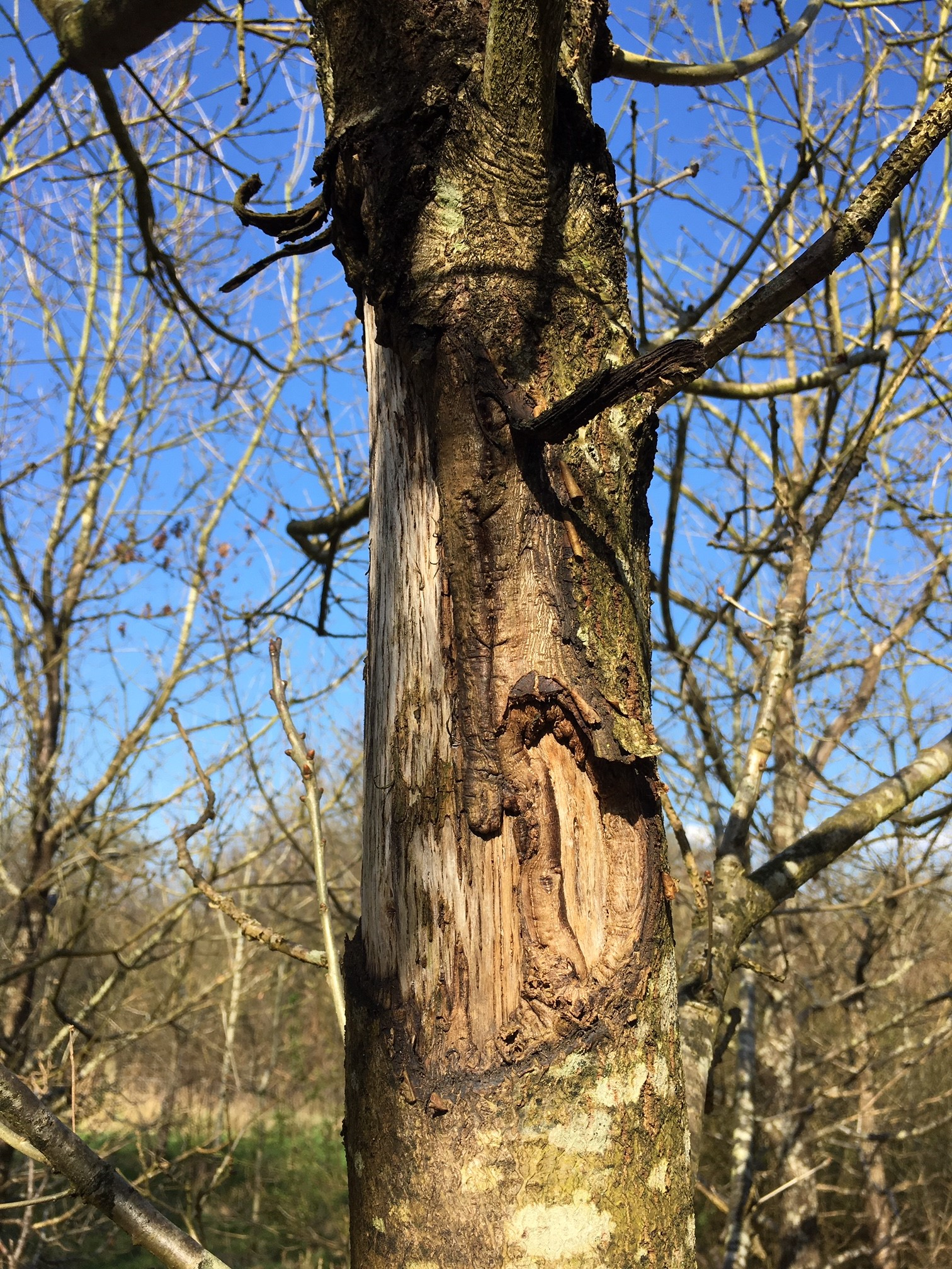 Bark stripping damage in the National Forest by Daniel Small