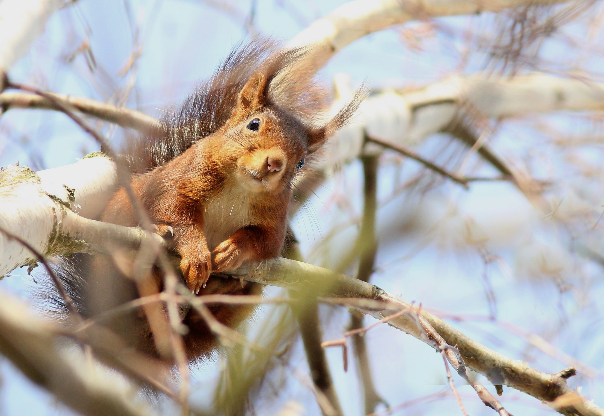 Red squirrel by Theo Louis