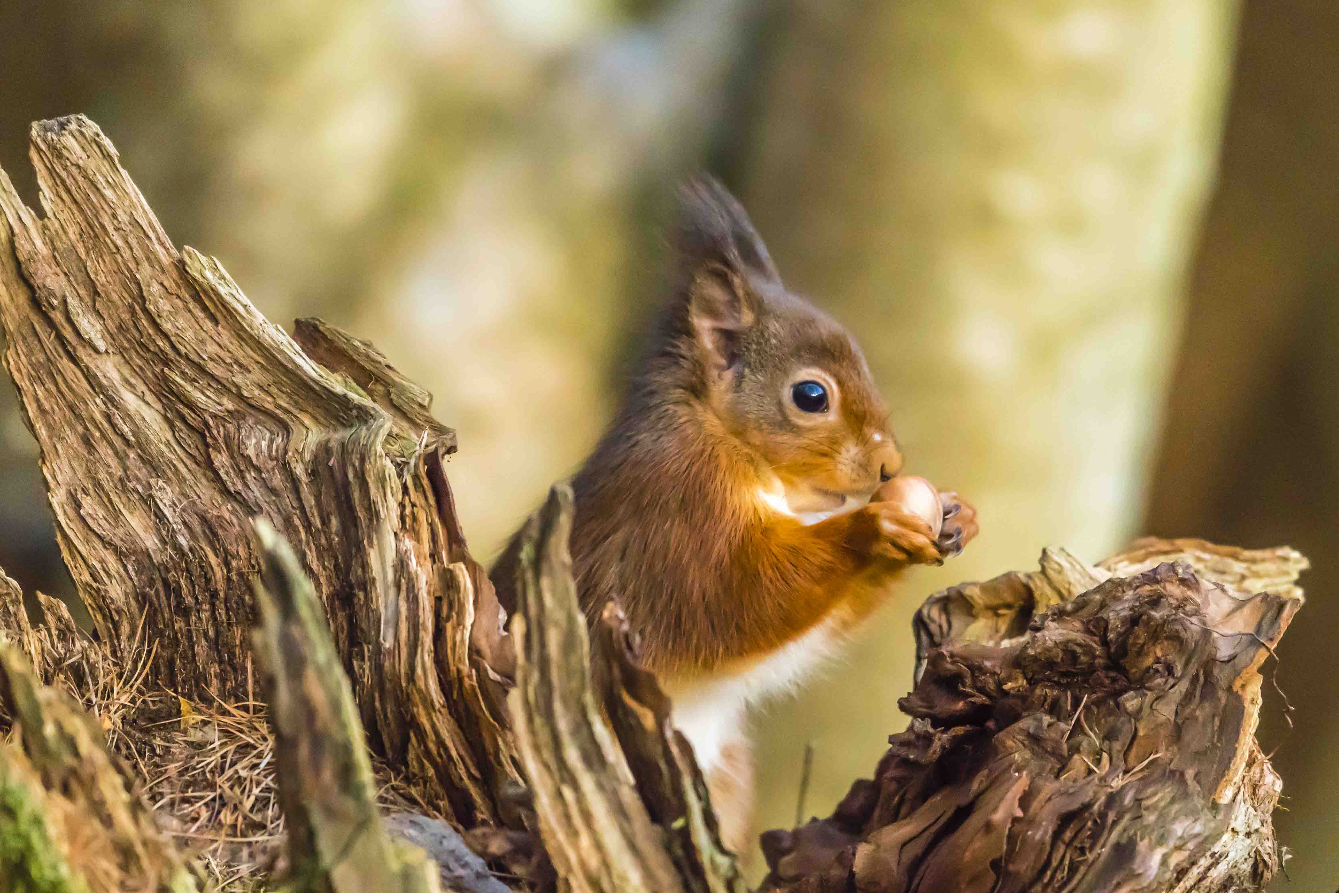 Red squirrel with hazelnut by Nicholas Box