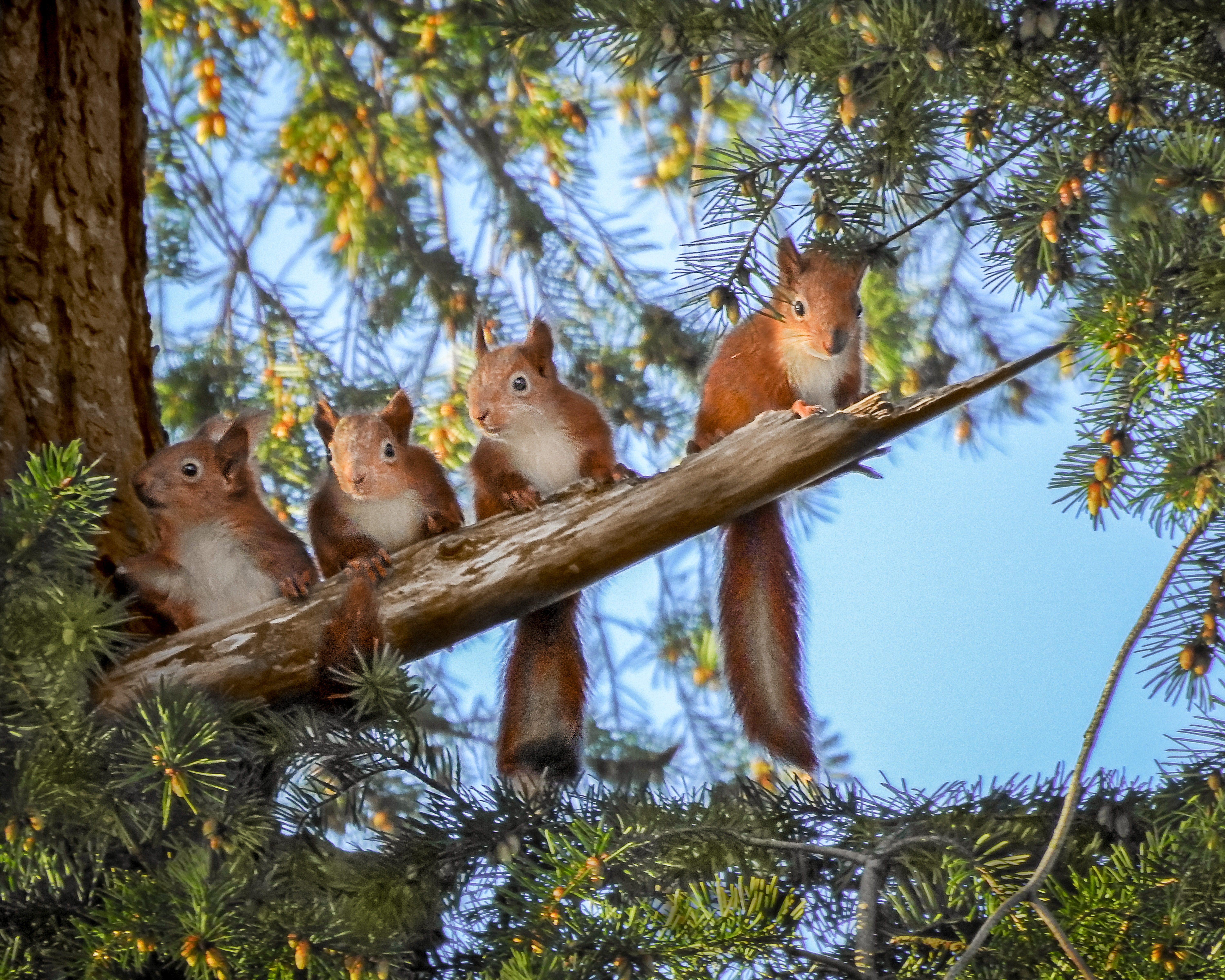 Red squirrel kits at Montalto Estate by Wilson Johnston