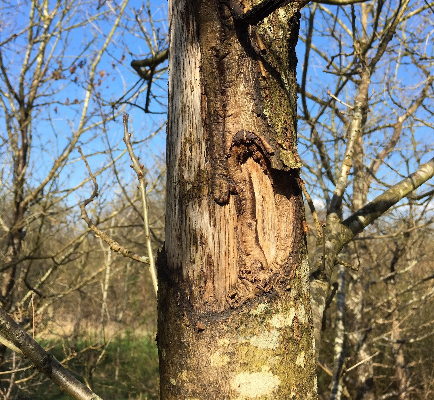 Grey squirrel bark stripping damage by National Forest
