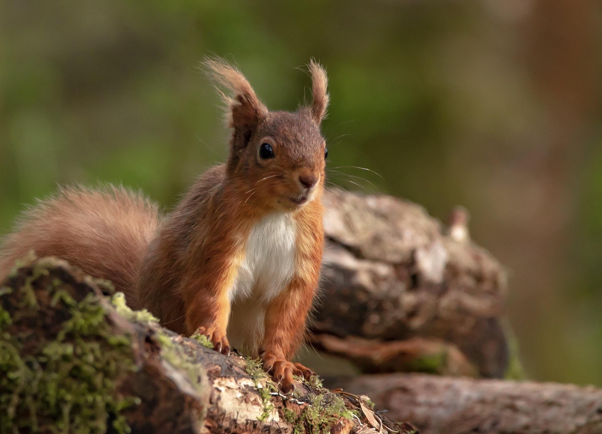 Red squirrel by Jonny Rosborough