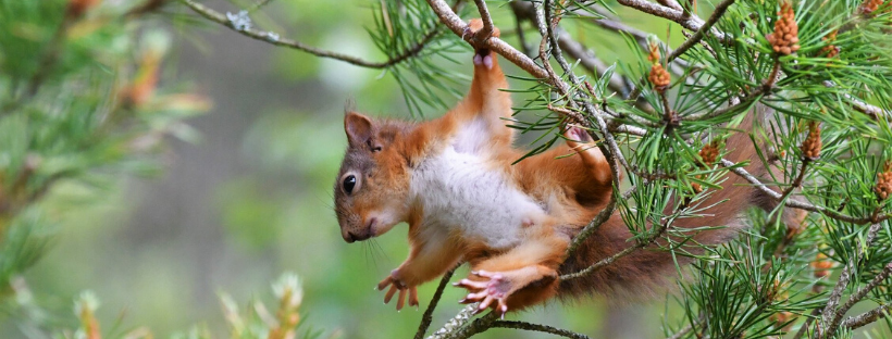 Juvenile red squirrel learning to climb in Scotland by Gary Bruce Highland Photographer