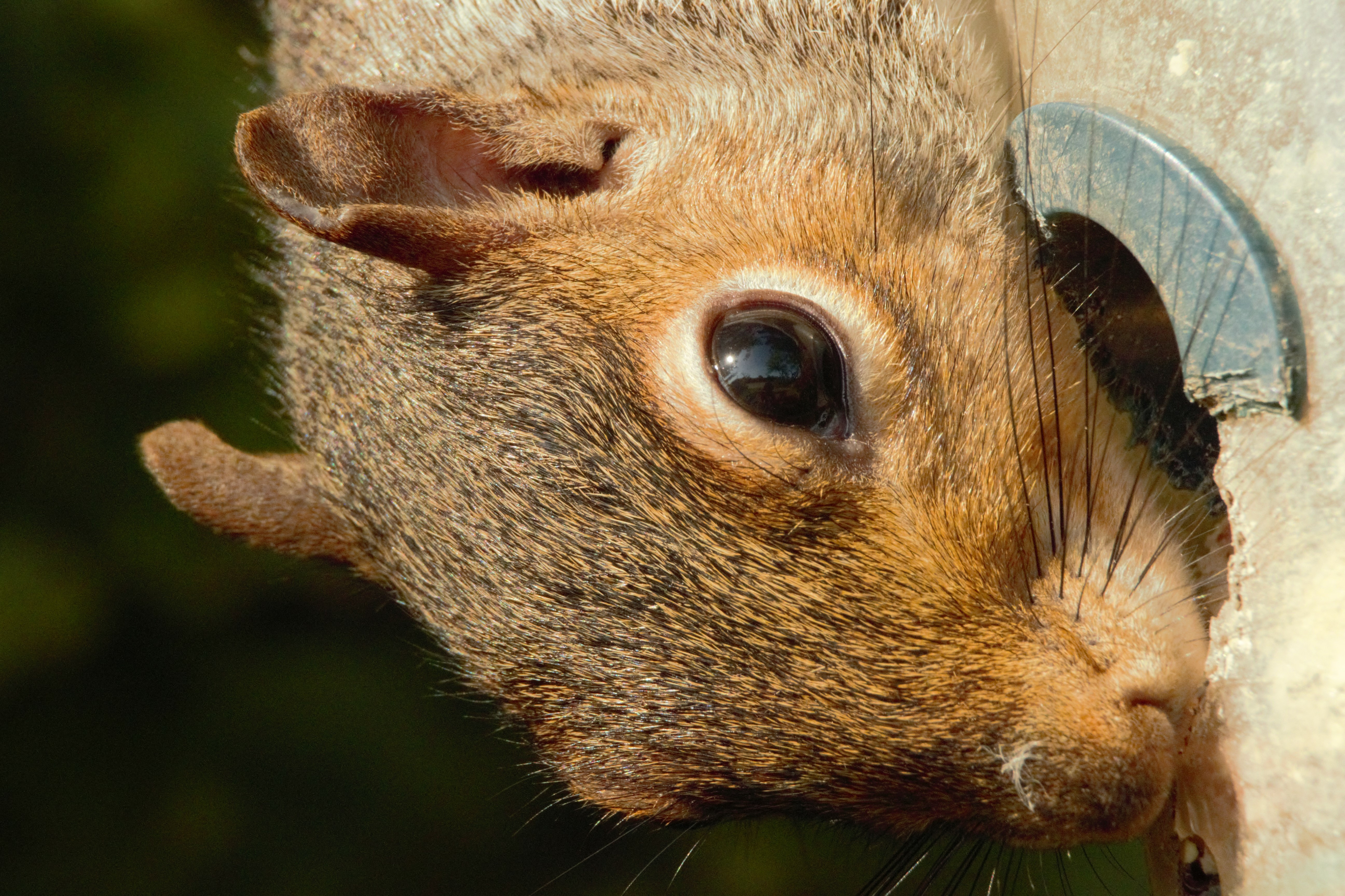 Grey squirrel gnawing at a bird nest box hole