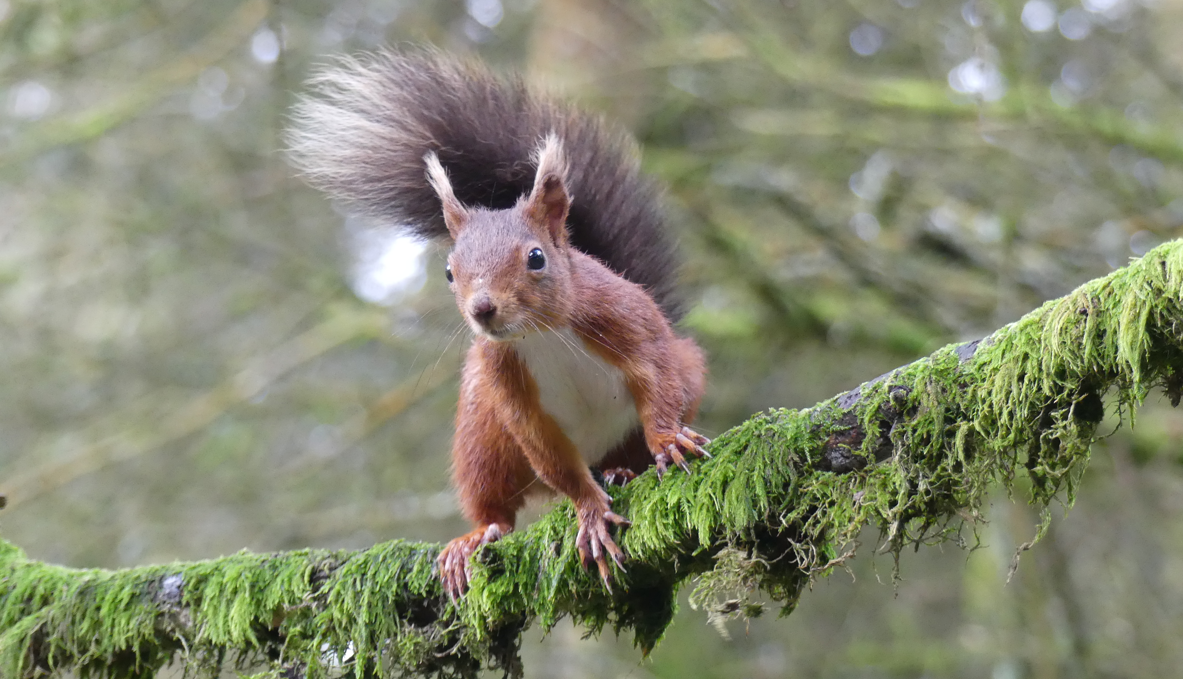 Red squirrel by Sarah Beatham