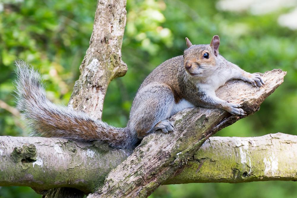 Grey squirrel by Elliot Lea