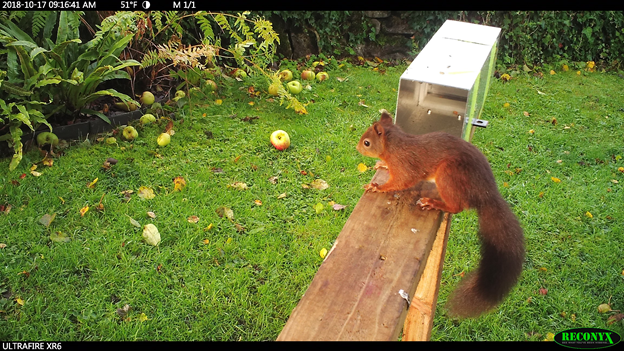 Red squirrel unable to access species-specific feeding hopper being designed by APHA