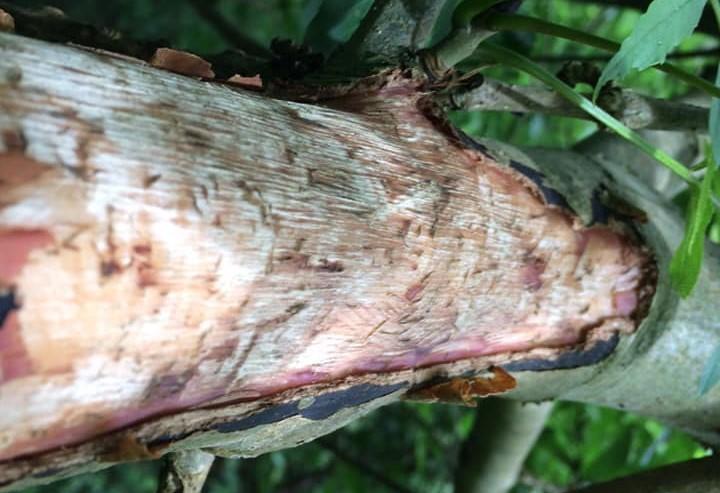 Grey squirrel bark stripping damage in mid-Wales - Craig Shuttleworth