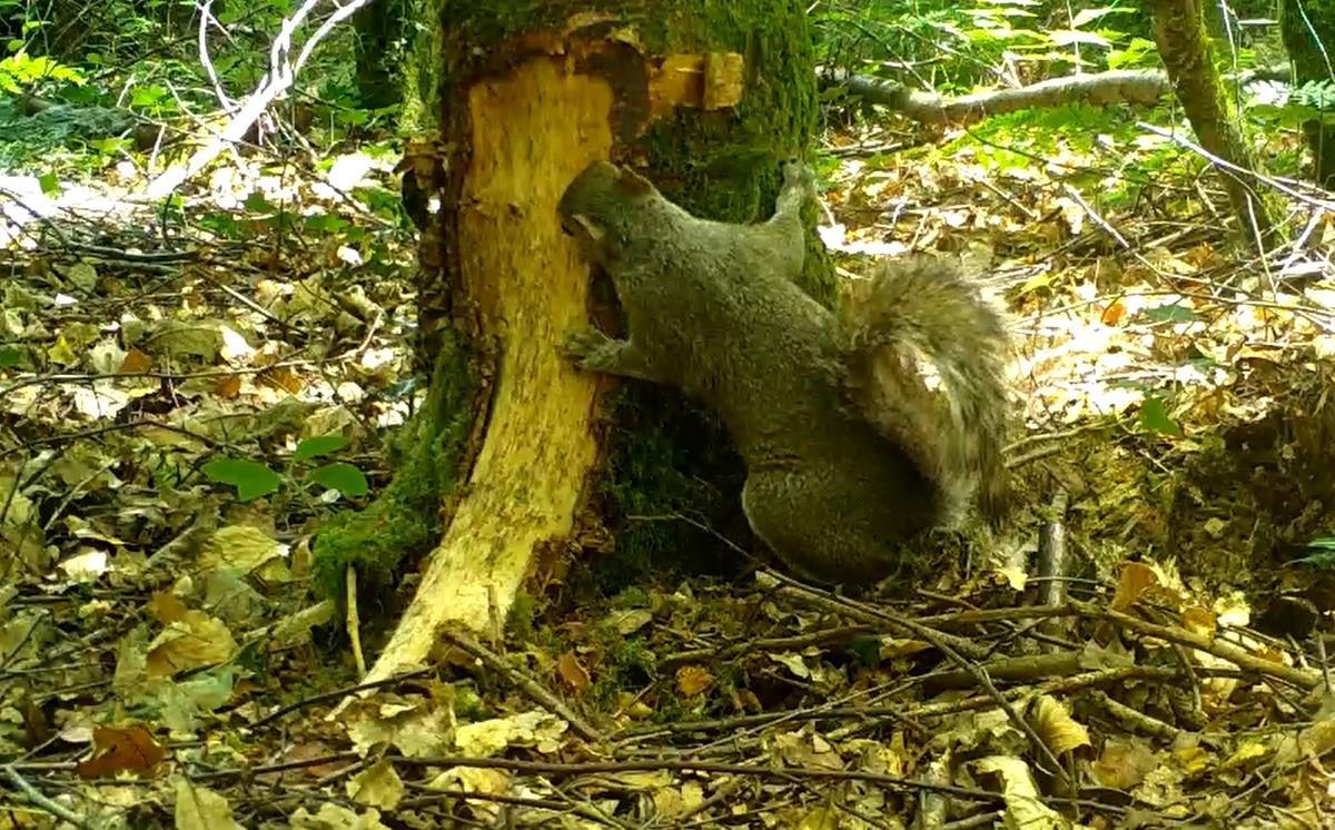 Grey squirrel bark stripping Devon - Red Squirrel South West