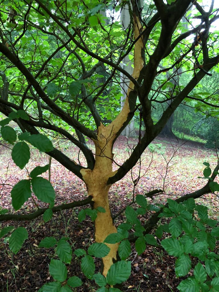 Grey squirrel bark stripping damage N.E. Wales