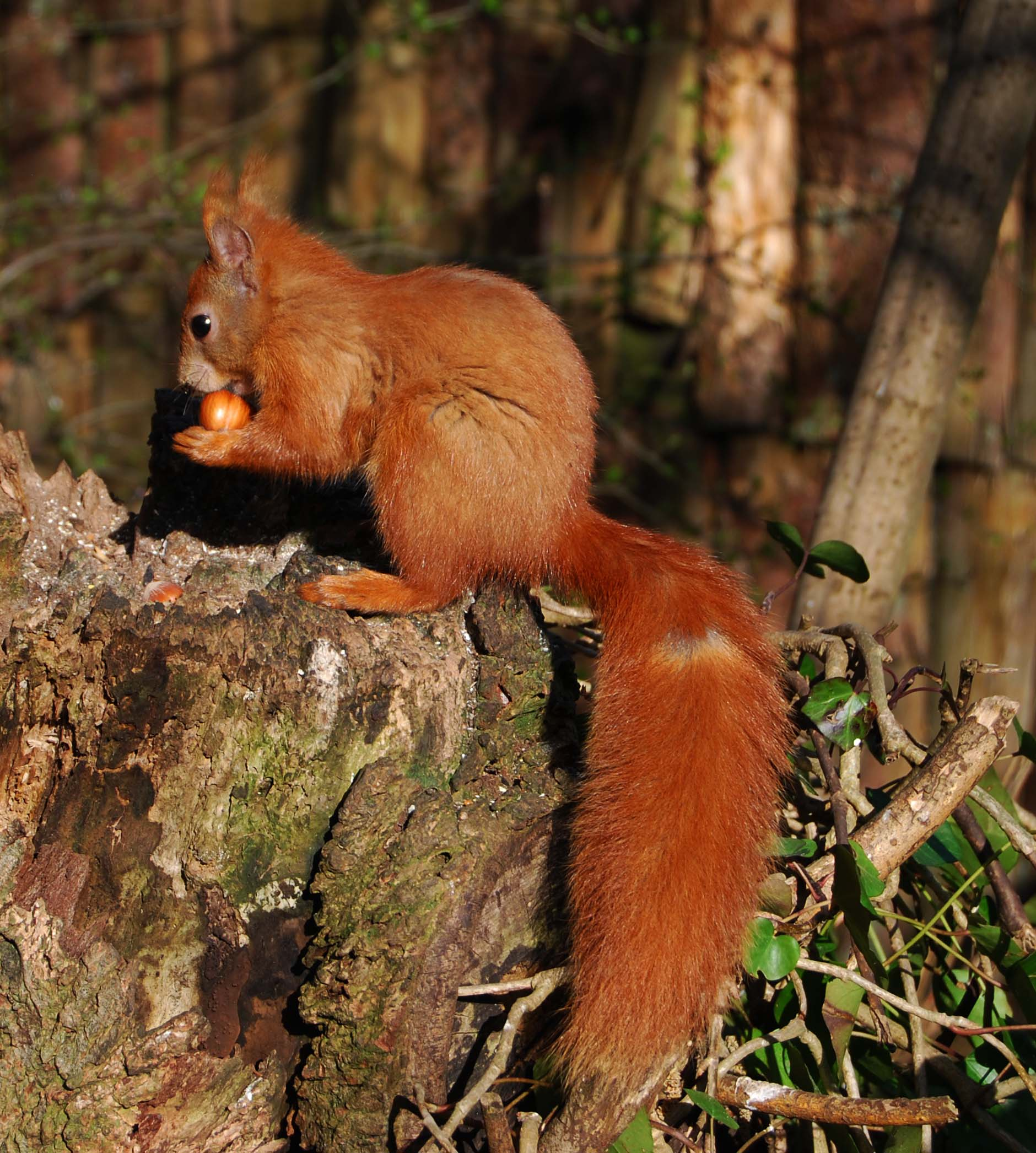 Isle of Wight red squirrel by Helen Butler