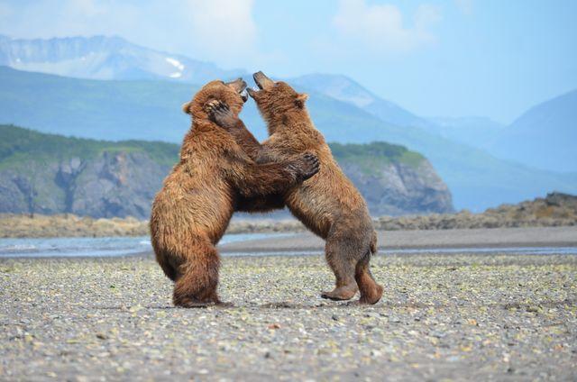 Beren in Alaska