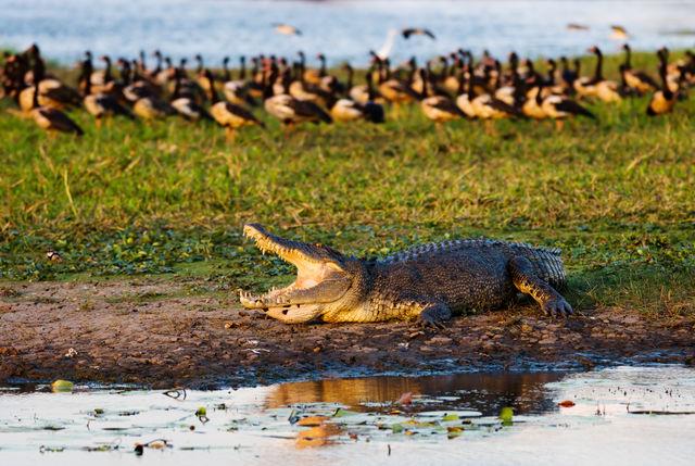 Saltie in Kakadu National Park