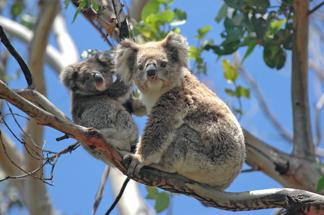 Koala's langs de Great Ocean Road