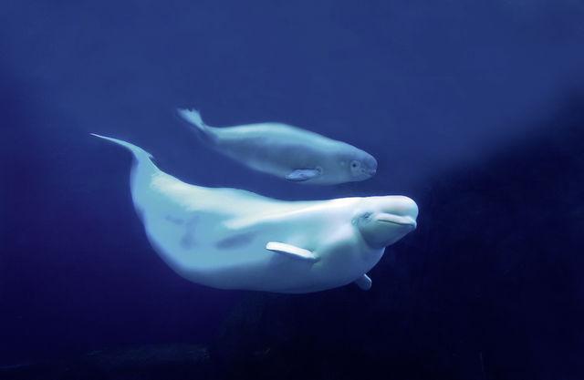 Beluga Whales, Manitoba