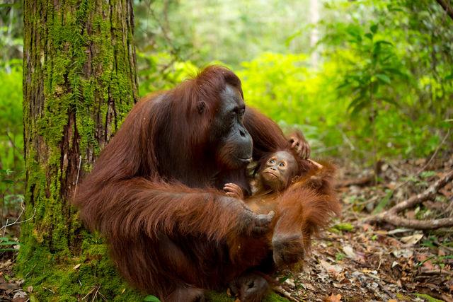Orang-oetan, Sumatra